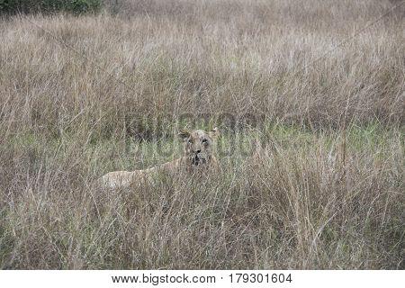 Lioness Hiding Queen Elizabeth National Park, Uganda