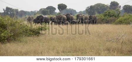 Elephants In Defensive Position In Queen Elizabeth National Park, Uganda