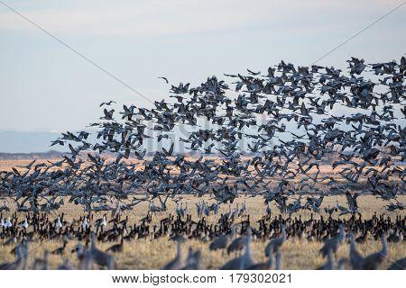 Sandhill Cranes during the Spring migration in Monte Vista Colorado. poster
