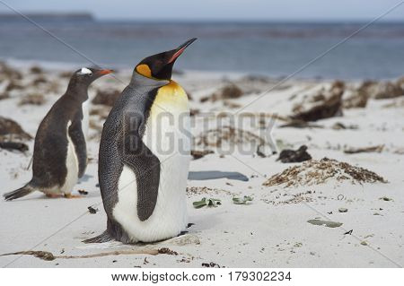 King Penguin (Aptenodytes patagonicus) standing on a sandy beach on Sealion Island in the Falkland Islands. Gentoo Penguin (Pygoscelis papua) passing in the background.