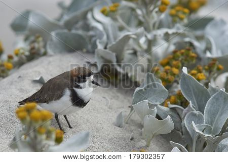 Two-banded Plover (Charadrius falklandicus) foraging amongst flowering Sea Cabbage plants (Senecio candidans) on a sandy beach on Sealion Island on the Falkland Islands.