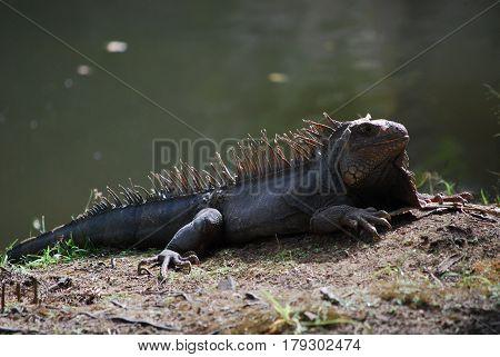 Sun bathing iguana warming in the sunshine beside a body of water.