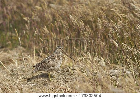 Magellanic Snipe (Gallinago paraguaiae magellanica) partially hidden in a grassy meadow on Sealion Island in the Falkland Islands. poster
