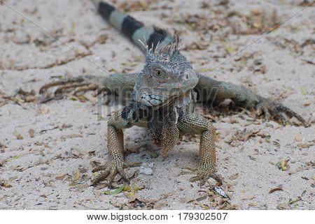Iguana with a striped tail on a white sand beach.