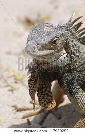 Gorgeous look at an iguana on a white sand beach.