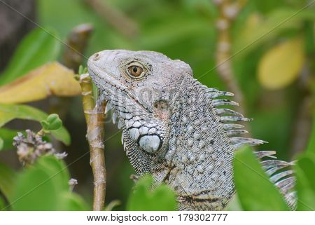 Fantastic gray iguana sitting in the top of a bush.
