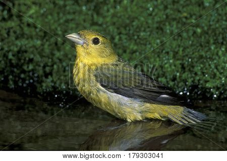 A female Scarlet Tanager, Piranga olivacea bathing in a shallow pond