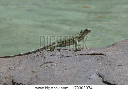 Cute dancing iguana on the rocks along the water's edge.