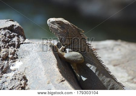 Gray iguana on a large rock climbing up to peak over.
