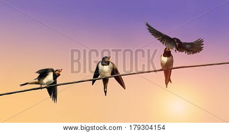 the bird is the swallow flew in to feed their young on wires at sunset