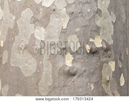 Textured bark of the plane tree or sycamore