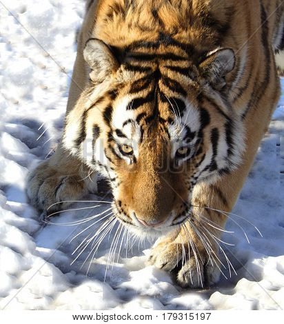 The Amur tiger on snow in winter
