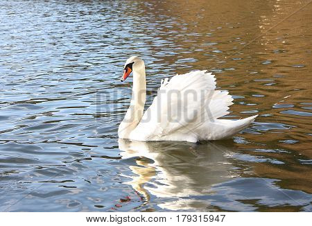 The white swan floats on the lake