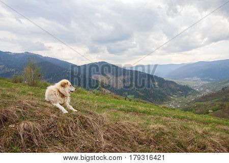 Herding dog in a pasture in the mountains. Carpathians