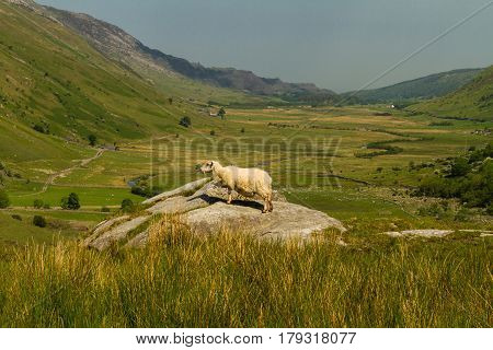 Nant Ffrancon Pass From Idwal Cottage With Sheep