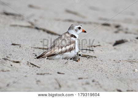 Endangered Piping Plover (Charadrius melodus) with a chick on a beach