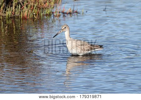 Willet (Catoptrophorus semipalmatus) in the Florida Everglades