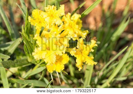 Bright yellow flowers of Fringed Puccoon, a common spring wild flower