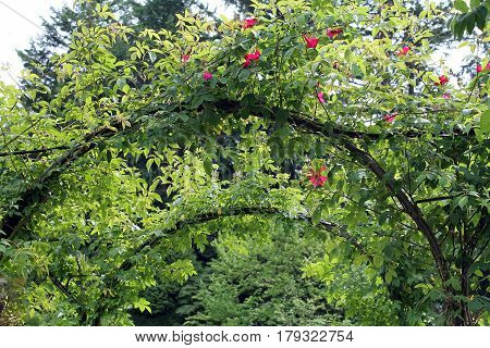 Arching Grapevine Arbor with Pink Climbing Roses