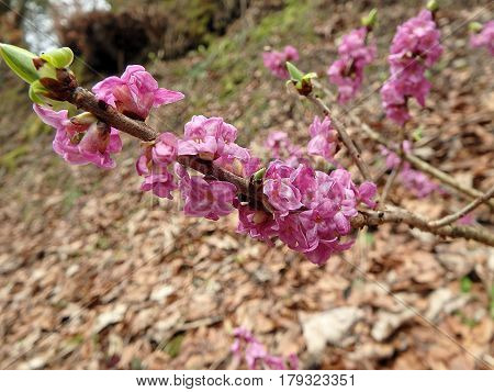 Beautiful mezereon blossoms in spring in natural habitat, mezereon,(Daphne mezereum),