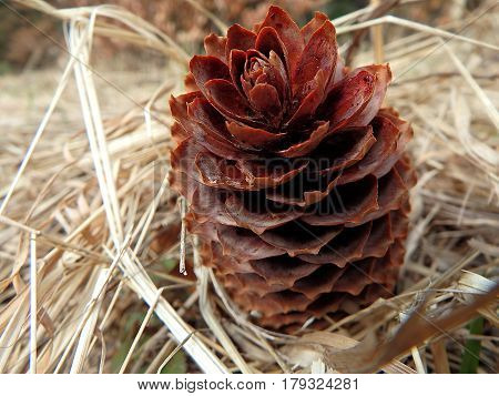 spruce cones on natural background , spruce cones - background ,