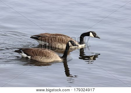 Two Canada geese swimming on a lake together