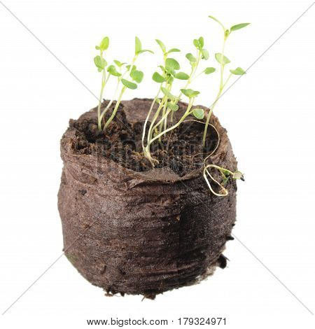 Seedling of thyme (Thymus serpyllum) with two green cotyledon and true leaves in clod of soil isolated on white background