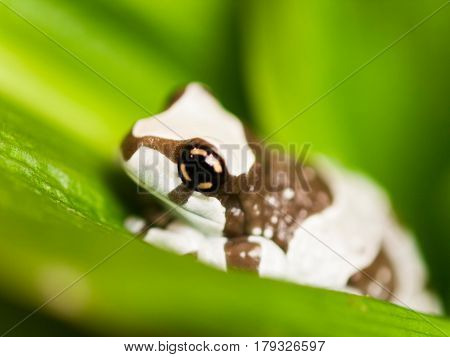 Mission golden-eyed tree frog - Trachycephalus resinifictrix