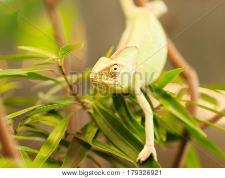 Young Yemen chameleon on the branch with leaves - Chameleo calyptratus
