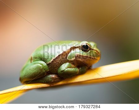 Common tree frog siting on the reed leave - Hyla arborea