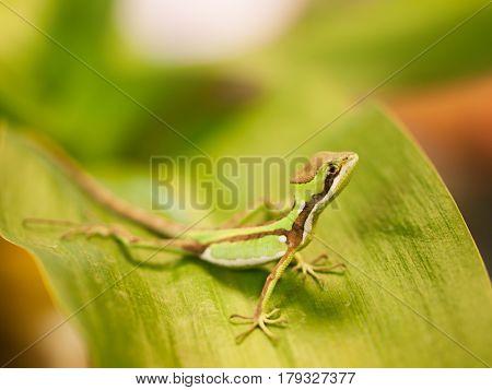 Portrait of Serated Caquehesd Iguana lizard - Laemanctus serratus
