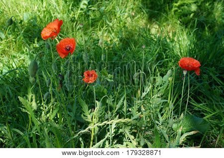 Papaver rhoeas red flower common names red poppy