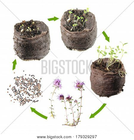 Life cycle of plant. Stages of growth of thyme (Thymus serpyllum) from seed to a flowering plant