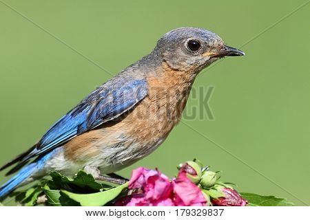 Female Eastern Bluebird (Sialia sialis) on a hibiscus bush