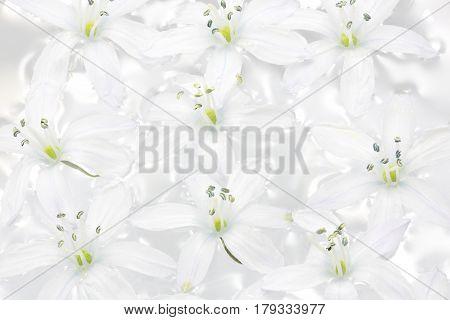 White Scilla flowers in water, closeup shot