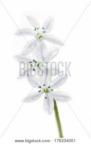 White Scilla flower closeup on white background