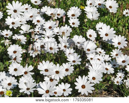 WILD AFRICAN DAISIES, FROM THE WEST COAST OF SOUTH AFRICA