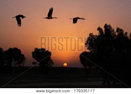 Three cranes fly in the evening against the backdrop of sunset