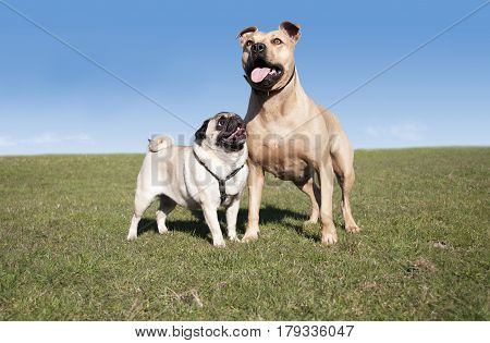 two happy healthy dogs pug and pitt bull playing and having fun outside in park on sunny day in spring
