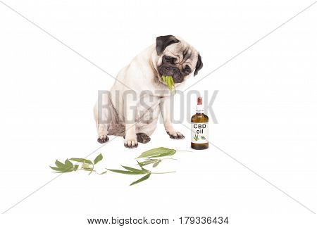 cute pug puppy pet dog eating weed Cannabis sativa leaves sitting next to dropper bottle of CBD oil for animals isolated on white background