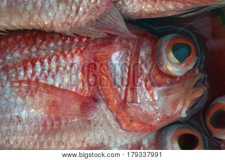 Marine Fish Bass With Bulging Big And Bulging Black Eyes In The Red Circle, Silvery Scales And Somet