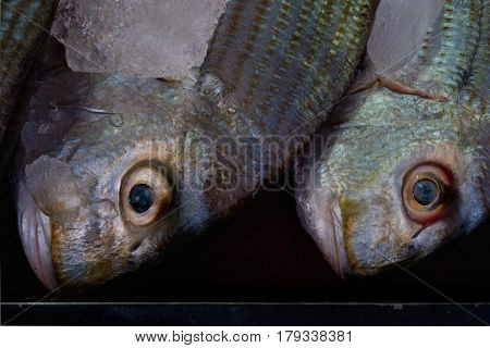 Close Portrait Face Two Fish Gray, Burgundy And Green Shade With A Closed Mouth And Very Large Conve