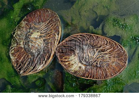 The Old Coconut, Broken Into Two Halves, Which Are Perpendicular To Each Other Lie In A Green Puddle