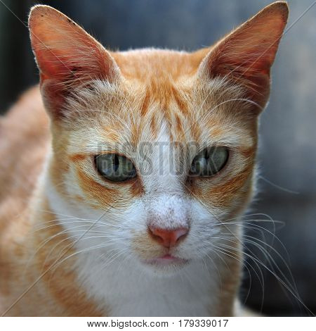 Close portrait of ginger cat with gray eyes and long white whiskers.