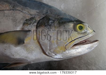 Portrait Of Big Saltwater Fish Gray Scales, White Belly, Open Mouth And Yellow Eyes, Is Located On T