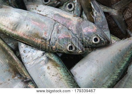 A Fine Marine Gray Fish With Pinkish Reflections On The Scales, Lie In A Pile, Fresh Sea Food On The