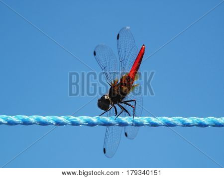Dragonfly With Black Head And Body, Red-tailed And Transparent Wings Sits On A Blue Rope On A Backgr
