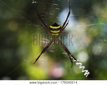Bright Tropical Spider: The Body In Black And Yellow Stripes, Long Legs Brown, Sitting In The Midst