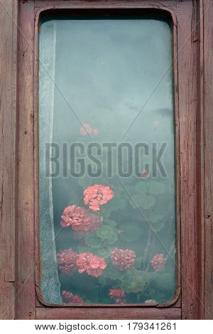 Old Brown Wooden Frame Windows, Misted Glass And Glass Huge Lush Green Bush With Pink Geranium Flowe