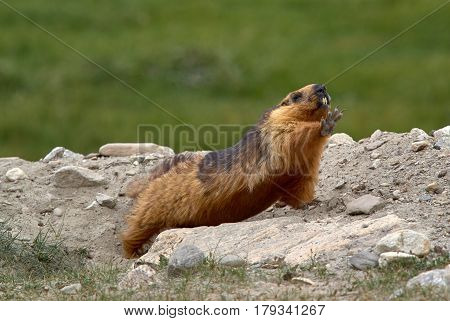 Tibetan Mountain Bright Red Marmot, Stretching After Sleeping, Ladakh, India.